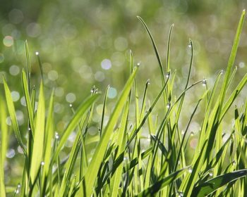 dew on real grass